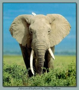 ele_003-AfricanElephant-InBush-WhiteEgret-OnHead
